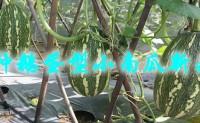 蒂亚诺小南瓜-一种鹅蛋型小南瓜新品种