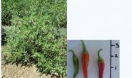 国人完成辣椒全基因组测序:解密辣椒为什么这么辣