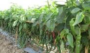 我国辣椒市场品种分布概况及产业问题剖析