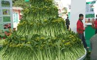 连州菜心种子2016隆重上市(百蔬网有售),热销中。。。