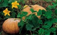蔬菜病虫害之南瓜病害识别与防治