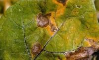 蔬菜病虫害之茄子病害识别与防治
