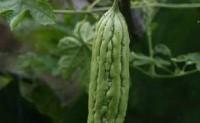 蔬菜病虫害之苦瓜病害识别与防治
