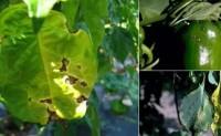 蔬菜病虫害之辣椒病害识别与防治