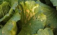 蔬菜病虫害之白菜病害识别与防治