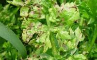 蔬菜病虫害之芹菜病害识别与防治