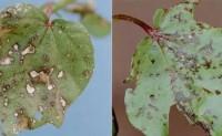 经济作物病虫害之棉花病害识别与防治