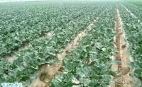 西兰花高产栽培技术