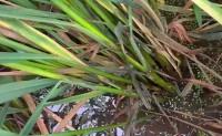 粮食作物病虫害之水稻病害识别与防治