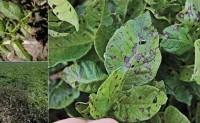 粮食作物病虫害之马铃薯病害识别与防治