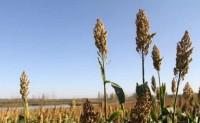 粮食作物病虫害之高粱病害识别与防治