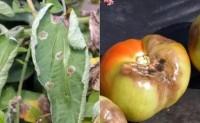 蔬菜病虫害之番茄病害识别与防治