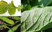 蔬菜病虫害之萝卜病害识别与防治